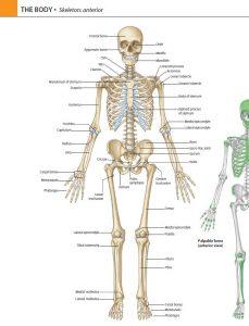 کتاب آناتومی گری مبحث تنه جلد اول